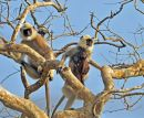 Southern Plains Grey Langur Family