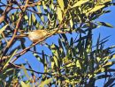 Greenish Warbler
