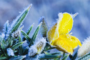 Gorse and hoarfrost