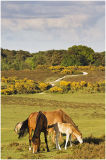 Ponies and foal in Spring