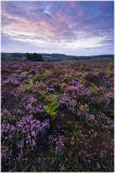 Dawn over New Forest heather