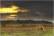 New Forest pony grazing as storm clouds gather