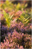 Late summer heather