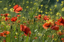 Poppies up close in Tuscany