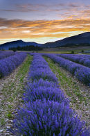Before dawn in the lavender of Provence, near Sault, France