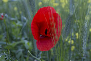 Poppies 1240