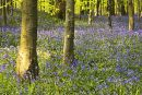 Warm light on the bluebells