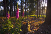 Foxgloves in sunbeams