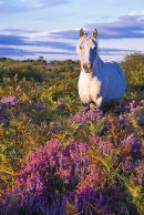 New Forest pony in the purple heather at first morning light.
