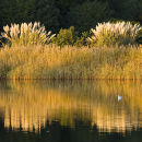 Reeds on Beaulieu River, New Forest