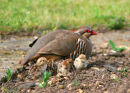 French Partridge with chicks