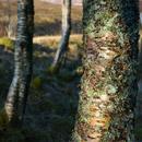 Glen Etive birches