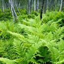 Kvaloy ferns