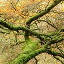 Mossy beech