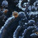 Thingvellir lichen