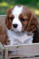 Cavalier King Charles Spaniel Puppy