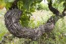 Ancient Vine