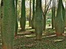 bulbous trees