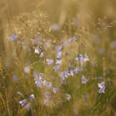 Harebells in the grass