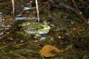 0002 IMG 0270 Frog