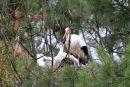 0006 IMG 0315 White Storks
