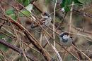 0014 IMG 0451 House Sparrow