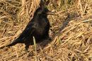 0045 IMG 4955 Crow
