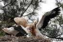 0048 IMG 1494 White Storks
