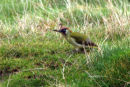 0084 IMG 2753 Green Woodpecker