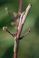 0086 IMG 9484 Mullein Moth Caterpillar