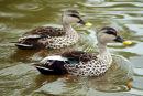 0103 IMG 2043 Chinese Spotbill Ducks