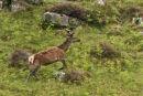 Red Deer Close Up 1