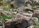 Common Sandpiper - (Actitis hypoleucos)