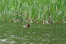 Slavonian Grebes - 2