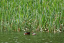 Slavonia Grebes (Horned Grebes) Podiceps auritus