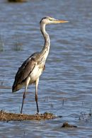 Ardea cinerea Grey Heron 05 Young IMG 5890