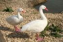 Coscoroba Swan - Coscoroba coscoroba