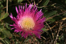 Hotentot Flower