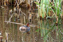 IMG 0634 Little Grebe