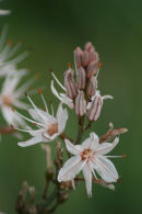 Asphodelus fisulosus (Lilaceae)