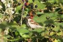 IMG 4297 House Sparrow