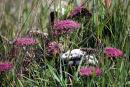 Allium subvillosum ??