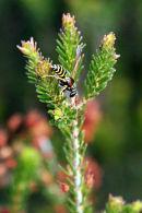 Giant Wood Wasp ?