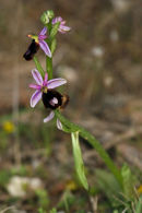 Ophrys bertolonii Bertolonis Bee Orchid Son Real Majorca
