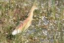 Squacco Heron - (Ardeola ralliodes)