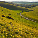 Cowslips on Cow Down