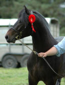 KIPPURE COLUMBUS3YR OLD STALLION CHAMPION BY HAZY MERLIN