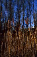 Norfolk reed