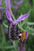 Bee on Lavender (Two)