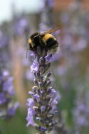 BEE ON TOP OF LAVENDER